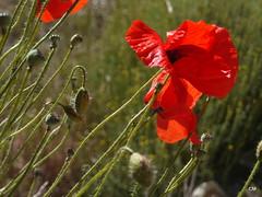 Fulles soltes (.carleS) Tags: flors flores caeduiker panasonic lumix gf3 vall de gallinera rosella amapola