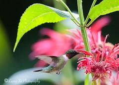 Red throated hummingbird (liqingxu100) Tags: smallbirds wildlife birds hummingbirds