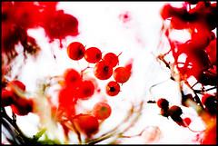 Red Berries VII (wide-angle.de) Tags: treesii de germany digital y201602