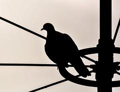 :-(( (Florian Grundstein) Tags: bird vogel schatten kontrast sun gegenlicht scherenschnitt taube pigeon nikon sigma antenne peace mnchen munic terror amok sad