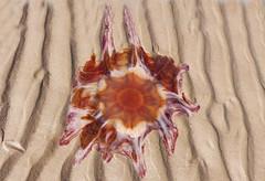 Lion's Mane jelly (Edinburgh Nette) Tags: jellyfish st cyrus july16 album ribbet