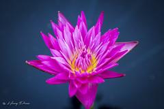 Water lilie (henryperez) Tags: plantersville texas unitedstates us flower canon60d waterlilies hdr houston adobe