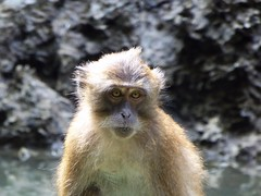Koh Panak (Sea Kayaking), Thailand (Jan-2016) 21-104 (MistyTree Adventures) Tags: kohpanak kohpanakisland aophangnganationalpark seasia thailand phuket panasoniclumix outdoor phangngabay animal monkey macaque macaquemonkey