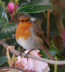 What are you looking at ???? (Halliwell_Michael ## Thank you for your visits #) Tags: robin birds garden spring camelia westyorkshire springtime brighouse 2015 coth nikond40x hoveedge coth5 sunrays5 wellgreenlane