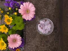 Add me into your prayers (nofrills) Tags: pink flowers flower green yellow japan cherry tokyo petals spring flora urbannature chrysanthemum