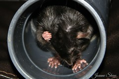 IMG_3067EN Radar (Joanne 1967 (SIMPLY PHOTOGRAPHY)) Tags: rat ratties petrats simplyphotography joanneshaw