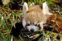 Petit panda roux (Passion Animaux & Photos) Tags: female panda small parc roux petit saintecroix redhaired femelle