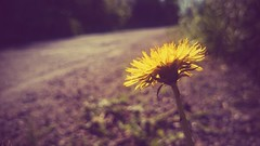 The long way round (jordan.hayes69) Tags: road ireland flower sepia dandelion eastcork