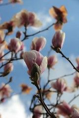 Unterm Magnolienbaum (Poesia's Picture's) Tags: spring april magnolien 2015 frhling