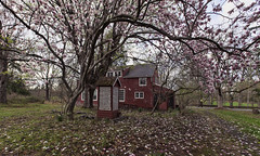 Pink Blossoms (William_Doyle) Tags: tree nature photoshop spring nj redhouse april abaondoned skillman 2015 pinkblossoms topazadjust