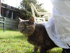 Matilda under my Dress (Matilda&Charlie&Josie ~ MCJ) Tags: cat matilda 9yo greybluecreamtortoiseshell