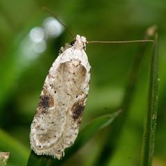 Agonopterix alstromeriana (Ian Redding) Tags: uk nature fauna insect wildlife moth british invertebrate arthropod