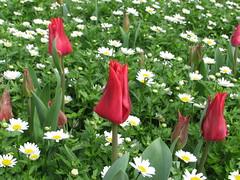 IMG_6120 (Gkmen Kmrt) Tags: tulips tulip 2014 emirgan laleler