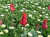 IMG_6120 (Gökmen Kımırtı) Tags: tulips tulip 2014 emirgan laleler