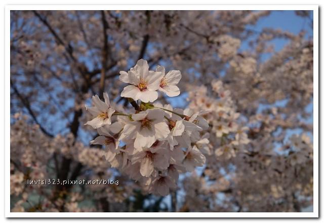 양재천벚꽃19
