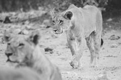 Stalking (wenzday01) Tags: park travel sunset bw nature animal nationalpark nikon wildlife lion sigma monotone safari adobe botswana chobe kasane lightroom gamedrive lionness chobenationalpark d7000 chobechilwero nikond7000 sanctuaryretreats vscofilm 120400mmf4556afapodgoshsm