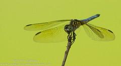 Blue Dasher (sjsimmons68) Tags: animals fav bluedasher pachydiplaxlongipennis insectsandspiders redbuglakepark seminoleco dragonflyanddamselfly fllocations