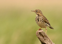 Meadow pipit (Severnrover) Tags: bird nature birds wildlife meadow ornithology pipit