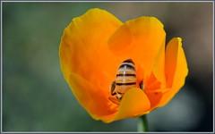 Going All In (tdlucas5000) Tags: california flower macro gardens bokeh bee honey poppy pasadena honeybee descanso descansogardens