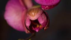 Eclosion d'une orchide. (Le Cafranc) Tags: fleur timelapse orchide