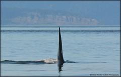 Onyx big dorsal fin (Selena Rhodes Scofield Photography) Tags: wildlife whale orca sanjuanislands killerwhale victoriabc killerwhales orcinusorca marinemammals salishsea srkw selenarhodesscofieldphotography