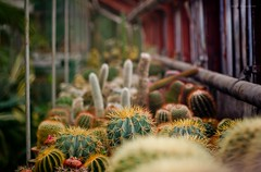 A field of cactuses (terra_irrornita1) Tags: plants greenhouse botanicalgardens cactuses kaliningrad