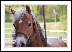 Manen en Staart (gill4kleuren - 12 ml views) Tags: horse me sarah fun was cleaning gill washing sar saar paard haflinger wassen