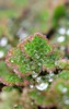 Azolla filiculoides. Water Fern. (All Botanical Photography) Tags: azollafiliculoides waterfern salviniaceae azollaceae