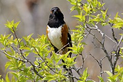 Towhee Stare (Uncharted Sights) Tags: park bird nature animal canon state birding sigma spotted towhee roxborough 60d 150500