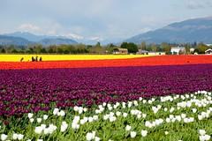 Small Holland (YuriZhuck) Tags: usa flower color nature field festival landscape us washington unitedstates blossom explore tulip bloom wa skagit roozengaarde explored