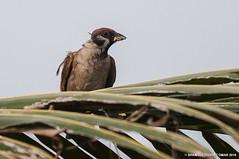 Eurasian tree sparrow (Shamsul Hidayat Omar) Tags: tree lens photography nikon birding sigma bio os sparrow malaysia omar eurasian f28 dg selangor biodiversity tanjung karang hidayat d90 greatphotographers hsm shamsul 120300mm kepelbagaian