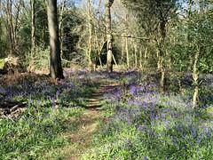 Bluebells in Earlswood (Heaven`s Gate (John)) Tags: wood blue trees england plants nature bluebells season landscape outdoors spring earlswood johndalkin heavensgatejohn