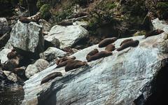 Seal resort (Sean Lowcay (sealow08)) Tags: newzealand nature water animal landscape nikon scenery rocks natural outdoor rocky seal nz southisland wilderness fiordland d90 nikond90