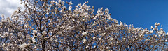 La couronne de fleurs/The flower crown/Den blommiga krona (eller krans?) [Explore] (Elf-8) Tags: sky flower tree spring sunny magnolia