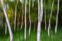 Birch vertical shift experiment (Amsterdamse Bos) (PaulHoo) Tags: abstract tree nature amsterdam forest evening spring movement nikon experiment bos amstelveen lightroom amsterdamse 2016 bovenkerk d700