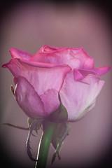 Pink Rose (MacBeales) Tags: pink macro art up rose canon eos 350d close nik