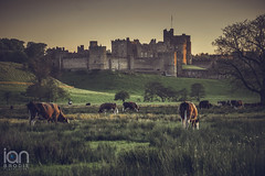 Alnwick Castle (ianbrodie1) Tags: old sunset tree castle history field animal outdoors nikon cows alnwick northumberland d750 grazing alnwickcastle