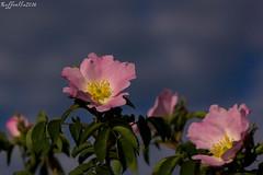 Uno sguardo al cielo ((Raffaella@)) Tags: sky sun primavera sol fleur soleil spring blossom flor himmel ciel cielo sole blume blte sonne printemps rosehip frhling hagebutte rosacanina rosamosqueta glantier floraison floracin