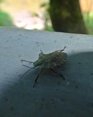 Instargram (Bricheno) Tags: macro bug insect scotland glasgow escocia stinkbug westend szkocja kelvingrove schottland shieldbug scozia cosse  esccia   bricheno scoia