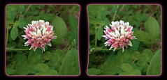 Not An Ugly Clover Bloom - Parallel 3D (DarkOnus) Tags: flower macro closeup stereogram 3d weed phone pennsylvania cell 8 stereo bloom mate clover parallel stereography buckscounty huawei notugly darkonus
