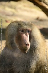 mantelbaviaan - Papio hamadryas - Hamadryas baboon (MrTDiddy) Tags: mammal zoo monkey antwerp baboon antwerpen aap zooantwerpen baviaan mantel papio hamadryas zoogdier mantelbaviaan
