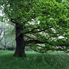 Bias (Noah MM) Tags: tree green texture 6x6 film nature rollei mediumformat garden kodak foliage analogue xenar rolleicord schneiderkreuznach ektar c41 tetenal