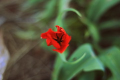 Tulip (Tracy Christina) Tags: red canada flower leaves newfoundland spring tulip