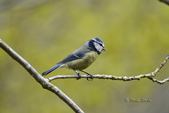 Blue Tit (Mike Slade.) Tags: 150 explore 500 explored bluetitcyanistes d5200sigma caeruleusnikon