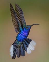 Violet Sabrewing (Eric Gofreed) Tags: costarica hummingbird violetsabrewing basquedepazraincloudforestlodgebiologicalreserve