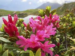 Alpenrosen (aletscharena) Tags: schweiz sommer wallis bettmeralp unescowelterbe alpenblumen alpenkruter aletscharena