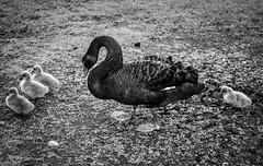 Black Swan (jammybunn) Tags: nature birds nikon colours wildlife ducks wetlands d750 aviary southport preservation lightroom merseyside martinmere