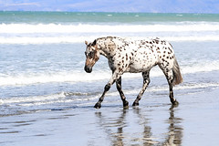 The beautiful Appaloosa horses | American horse breed (PhotographyPLUS) Tags: articles footage freephoto graphics illustrations images photos pictures stockimage stockphotograph stockphotos