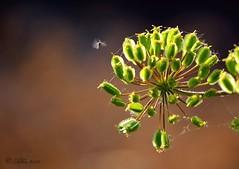 EN PLENO VUELO... (Alberto Fer.) Tags: flor insecto vuelo verano junio 2016 campo flores insectos flora tordesillas castilla y leon valladolid espaa