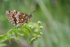 HEATH FRITILLARY (Bradders62) Tags: heathfritillary sigma canoneos7d exmoor southwest somerset fritillary butterflies butterfly nature insects wildlife heaths